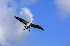 TIME TO LAND (vince.1 mill views.thanks friends.) Tags: bird pelican goldenbeach queensland australia clouds blue white canoneos40d sunshinestate sunshinecoast sky outdoors seaside flight