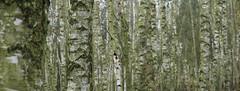Birkenhain (honiigsonne) Tags: birch grove tree trees forest wood woods trunk bole green birke birken hain wald forst baum bäume stämme panorama nature flora botany natur cold kühl outdoor outside botanik grün oberfläche oberflächen pflanze plant surface texture