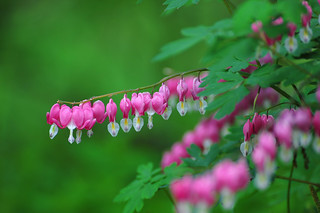 Bleeding heart #2