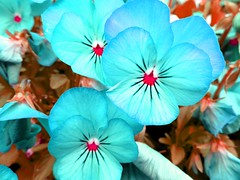 Blue Pansies, hue manipulated (juliaberger3) Tags: pansies canonphotos sx170is gimp paleblue skyblue pink hueshift