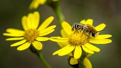 Bee on a flower.. zzzzzz (Linda Verweij) Tags: bee bij macro flower yellow geel kleurrijk insect focus bloem canon color