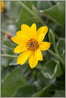 Arrowleaf balsamroot single bloom
