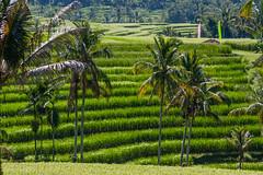 IMG_0618 (Ela&Piotr) Tags: bali indonesia indonezja jatiluwih ricefields
