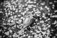 (Esther'90) Tags: bird little littlebird poor poorthing tit blackandwhite blackandwhitephotography garden summer summertime flowers bokeh bokehbackground feathers dead nature naturallight natural grass