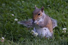 "Grey Squirrel ""Sciurus carolinensis"" (Kay Musk) Tags: greysquirrel sciuruscarolinensis animal gardenwildlife wild wildlife nature nikond3200 essex uk"