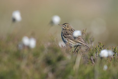 Meadow Pipit among the Cotton Grass (Tim Melling) Tags: meadow pipit anthus pratensis peak district blanket bog timmelling