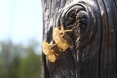würde unsere Seele ein neues Leben führen, sobald sie den Körper wie einen ausgebrannten Wohnwagen am Straßenrand hinter sich lässt (raumoberbayern) Tags: zikade frankreich france robbbilder wald forest puppe hülle empty leer cicada dof