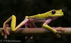 Gliding tree frog (Agalychnis spurrelli) (Ville.V.) Tags: gliding tree frog agalychnis spurrelli amphibian herping herpetology wild wildlife nature