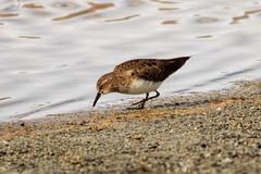 Sandpiper (views@vista) Tags: bird birds india ladakh lake nature outdoor vacation water