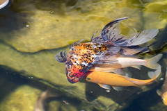 Mating with Ryukin goldfish -Norway (Ingunn Eriksen) Tags: goldfish goldfishpond pond fish nikond750 nikon ryukingoldfish