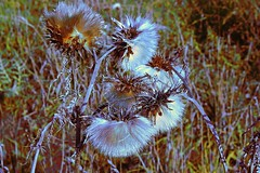 Winters Arrived! (maginoz1) Tags: abstract art fence grass thistle manipulate winter june 2017 bulla melbourne victoria australia canon 100d