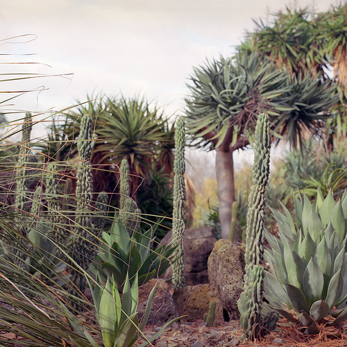 cacti (analogue)