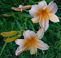 Duo (BKHagar *Kim*) Tags: bkhagar flower flowers bloom blossom lily lilies yard momdads tanner al alabama