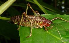 Katydid, Schedocentrus sp. (Ecuador Megadiverso) Tags: andreaskay ecuador grasshopper katydid orthoptera schedocentrussp tettigoniidae