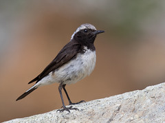 Cyprus Wheatear ♀ (Oenanthe cypriaca (Homeyer, 1884)) IUCN LC * For Sale (Cyprus Bird Watching Tours - BIRD is the WORD) Tags: oenanthecypriaca cyprusendemic cyprusbirds cyprusbirding cyprusbirdwatching cyprusbirdingtours cyprusbirdwatchingtours cyprusguidedtours birdmigration europeanbirds cypruswheatear troodos bird wildlife ecotours cyprusecotours cyprussafari safari highquality cyprus birding birdwatching nature canon nois noimagestabilizer handheld birdingtourscyprus birdwatchingtourscyprus animal outdoor sunny professionalphotography westernpalearctic nationalgeographic bbcearth birdwatch rspb birdlifeinternational twitch art ethicalphotography