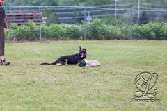 GSD-4363 (jim_lamy) Tags: gsd ipo germanshepherd schutzhund workingdog