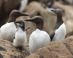 Guillemots with Chick (Sybalan,) Tags: seabirds northumberland bamburgh seahouses seashore sea sunny east coastal sand dunes islands httpsybalanphotographyweeblycom historic summer farnes innerfarne stapleisland billysheils alldaybirdwatch boat trip canon 550d 760d sigma blueskies wildlifenature national trust outdoor ornithology