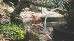 I'm small :( (lin.chinhu) Tags: duck bird animal animalplanet zoo saigon vietnam thezoo incage animallover cool colorful canon canon60d