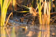 ''Premiers rayon!'' Petit blongios- Ixobrychus exilis (pascaleforest) Tags: oiseau bird animal passion nikon nature québec canada widl wildlife faune matin moorning summer été léonprovencher