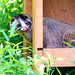 Masked Palm Civet : ハクビシン