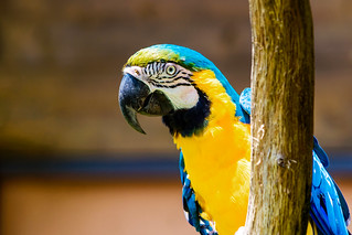 Blue-and-yellow Macaw : ルリコンゴウインコ