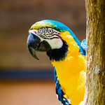 Blue-and-yellow Macaw : ルリコンゴウインコ thumbnail