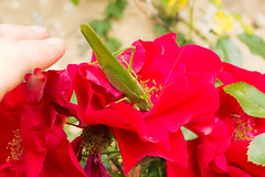 Is it really a grasshopper ? Le Perche, Normandie, Orne, France (martine_vise) Tags: grasshopper rosebush garden summer summertime nature gardenlife countryside countrylife naturephotography naturemover rurallife insect red green colorofnature explore explorenature