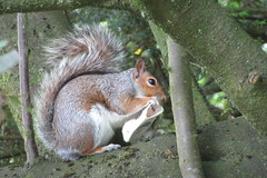 IMG_3452 (mmarple62) Tags: écureuil squirrel animals animaux wildanimals animauxsauvages