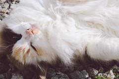 fifi (annnedai) Tags: cat babycat lovecat ♥
