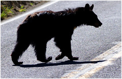 Just a walking down the stree singing Do Wah DIddy Diddy ... (Aspenbreeze) Tags: blackbear bear wildbear wildlife wildanimal animal yellowstonentionalparkwildlife yllowstone nationalpark nature beverlyzuerlein bevzuerlein moonandbackphotography aspenbreeze
