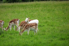 Fountains Abbey and Studley Royal Water Garden (134) (Twonkyface) Tags: fountains abbey studley royal gardens deer