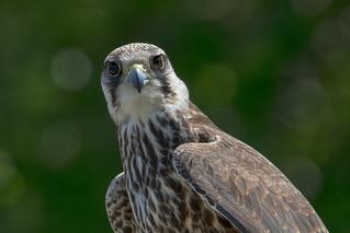 Lanner Falcon Portrait