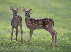 Two fawns (Mawrter) Tags: fawn fawns deer whitetaildeer young spots spotted twoanimals two together togetherness sweet canon nature wild wildlife spring springtime specanimal
