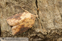 White-lined Leafroller - Hodges#3748 (Amorbia humerosana) 20170417_1087.jpg (Abbott Nature Photography) Tags: animals arthropodaarthropods endopterygota hexapoda insectainsects invertebratainvertebrates lepidopterabutterfliesmoths neoptera organismseukaryotes pterygota tortricidaeleafrollers tortricoidea moth gordo alabama unitedstates us