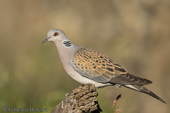 Streptopelia turtur (LdrGilberto) Tags: rolabrava turtle dove streptopelia turtur hide apúlia bird ave nature natureza wild free streptopeliaturtur europeanturtledove
