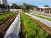 City farm (ellen forsyth) Tags: urbanfood