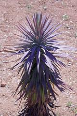 Yucca desmetiana Baker - Jardin Botanico de Barcelona (Ruud de Block) Tags: bgbarcelona jardinbotanicodebarcelona ruuddeblock asparagaceae taxonomy:binominal=yuccadesmetiana yuccadesmetiana