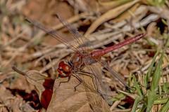Red-veined darter (My Pixelated life) Tags: boeremark dragonfly kimaid nomad redveineddarter swerwertjie sympetrumfonscolombii
