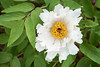 S17X9306 (Daegeon Shin) Tags: fujifilm xpro2 nikkor 55mmf28 mf manualfocus mirrorless flower flor paeonialactiflora 후지 니콘렌즈 수동 수동촛점 꽃 작약