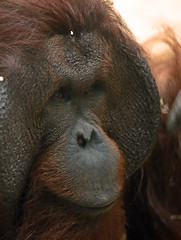 orangutan Ouwehands JN6A3411 (joankok) Tags: orangoetan orangutan sumatra sumatranorangutan sumatraanseorangoetan ouwehands animal asia azie aap ape mammal monkey mensaap zoogdier dier