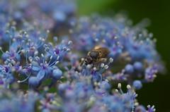 Visitor (shuichi.hashimoto) Tags: macro pentax k30 アジサイ 紫 蜂 bee flowers bluepassion