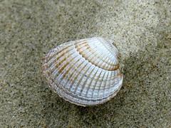 summer*beach*sand macromonday relaxation (BrigitteE1) Tags: summerbeachsand macromonday macromondays hmm muschel sand strand summer beach shell relaxation relax