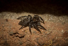 Saitis virgatus (dustaway) Tags: arthropoda arachnida araneae araneomorphae salticidae euophryinae saitis saitisvirgatus stripedsaitis jumpingspider australianspiders tamborinemountain mounttamborine sequeensland queensland australia spinne araignee nature natur