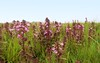 Sumpfblüten im Südermoor - Sumpf-Läusekraut (Pedicularis palustris); Norderstapel, Stapelholm (2a)