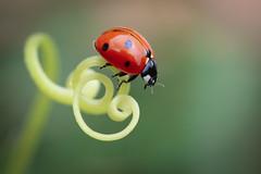 LadyLoops (Lía-H) Tags: coccinelle ladybug ladybird nature macro