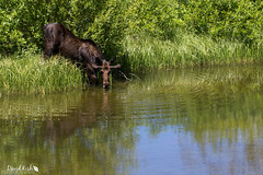 Slurp (dekish1) Tags: water thirsty 2v3a4228jpg moose silverthorne colorado unitedstates us canon7dmarkii canon100400mm copyrightdavidkish2017 lowercataractlake