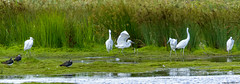 ghosts of the lagoon (blackfox wildlife and nature imaging) Tags: canon 1dmkiv sigma150600mmossport egret littleegret burtonmerewetlands rspb wirral