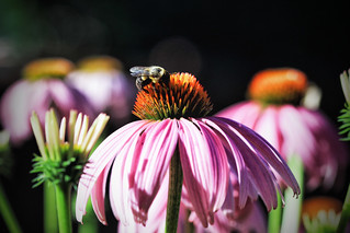 coneflower and a bee