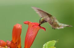 Ruby-throat Hummingbird (snooker2009) Tags: bird humming hummingbird ruby throat pennsylvania nature wildlife
