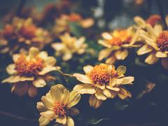 little greenhouse flowers (Web-Betty) Tags: flowers flora orange yellow greenhouse